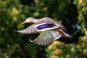 Hayward, Wis. U2014 Wisconsinu0027s 2014 60 Day Duck Season Comes With A  Six Duck Per Day Bag Limit U2013 As Expected U2013 But Was Close To Losing The 9  A.m. Season Start ...