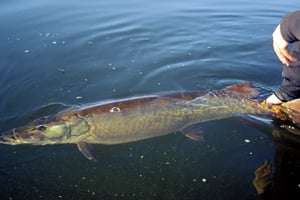 New 40 inch muskie size limit in place in wisconsin for Michigan fish size limits
