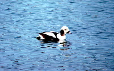 Beautiful Wausau, Wis. U2014 Waterfowl Huntersu0027 Hopes For More Liberal Rules That Would  Allow A Sea Duck, Early Teal And Sandhill Crane Season May One Day Be  Realized, ...