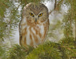 A saw-whet owl, like the one pictured here, will begin training to be an educational bird at the raptor center.