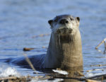 00820-002.13 River Otter is peering curiously from edge of partially frozen marsh.  Fur, trap, weasel, playful, hide, pelt. H5F1