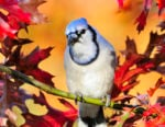 00070-022.02 Blue Jay is perched in red oak during fall. Feed, acorns, food, cache, fall color.
