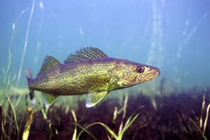 New freshwater fishing regs on tap in new york state for Pa fishing seasons and limits 2017
