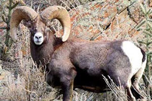 Disease takes toll on north dakota bighorns and hunting for Lifetime fishing license ny