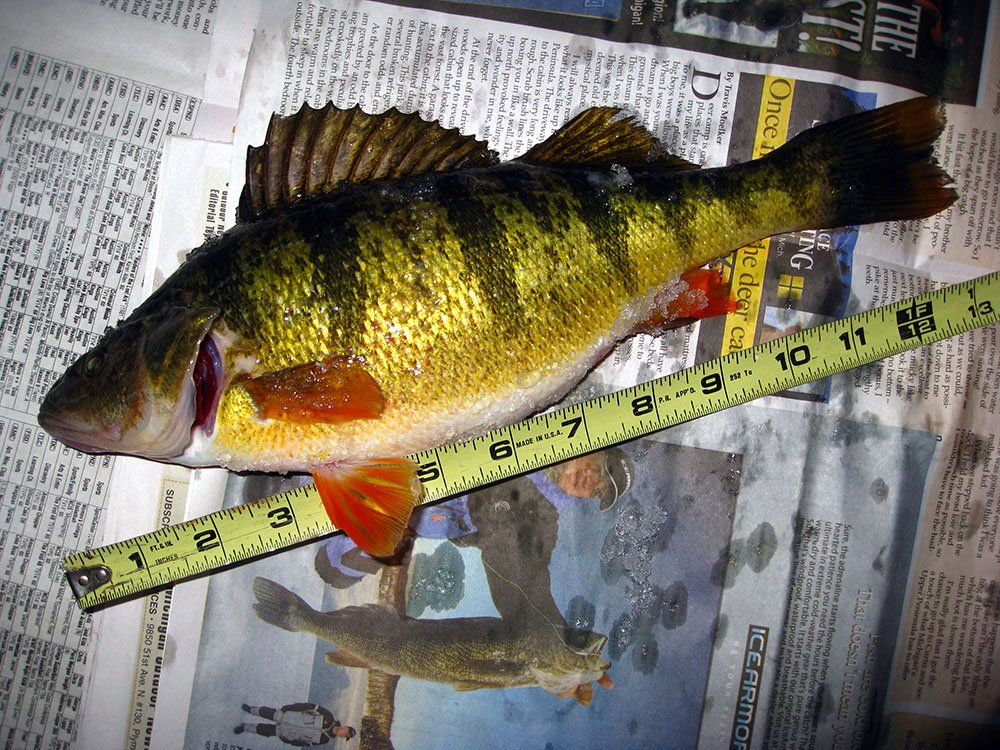 Spring Perch Fishing Heats Up On St Mary S River