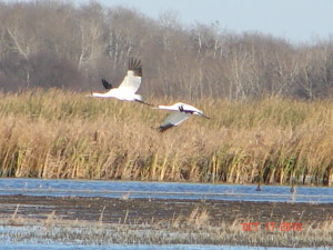 Oklahoma Preps For Whooping Crane Migration