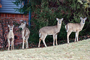 Spike in deer numbers means more hunting possibilities in vermont