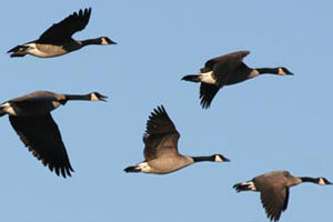 Dnr waterfowl report hunting success still 39 very good 39 outdoornews for Wisconsin exterior goose season