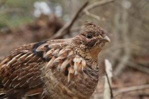 pennsylvanias state bird the ruffed grouse is facing tough times due to mortality caused by west nile virus pennsylvania game commission