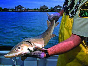 Michigan gears up for sturgeon survey outdoornews for Michigan dnr fishing report