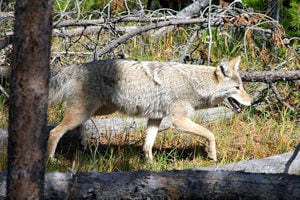 Scientists: Getting more 'wolf-like' is key to the future for East