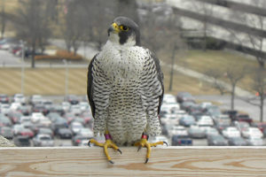 peregrine falcon management in pennsylvania Peregrine falcon research and management program in new jersey, 2012 kathleen clark, endangered and nongame species program  the peregrine falcon in new jersey.