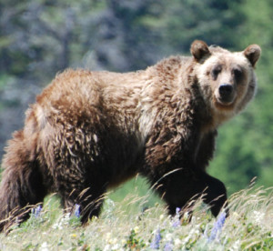 In montana fwp euthanizes 2 grizzlies after livestock for Mt fish wildlife and parks