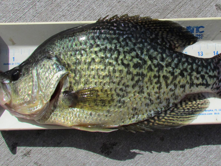 Two state fishing records certified in nebraska outdoornews for Outdoor news mn fishing report