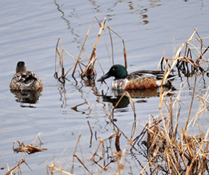 State of the Birds report: A boom in waterfowl in Prairie Pothole