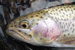 Fall is trout-stocking time in Nebraska - Outdoornews