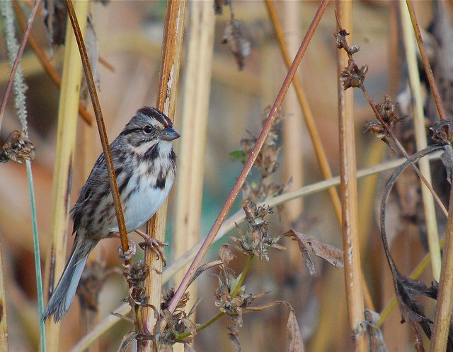 When Young Song Sparrows Practice Their Song In The Fall, It Can Be Almost  Unrecognizable. (Sharon Stiteler Photos)