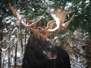 MooseVermont hunting news archives page 2 of 158 outdoornews Biggest Moose in Maine at edmiracle.co