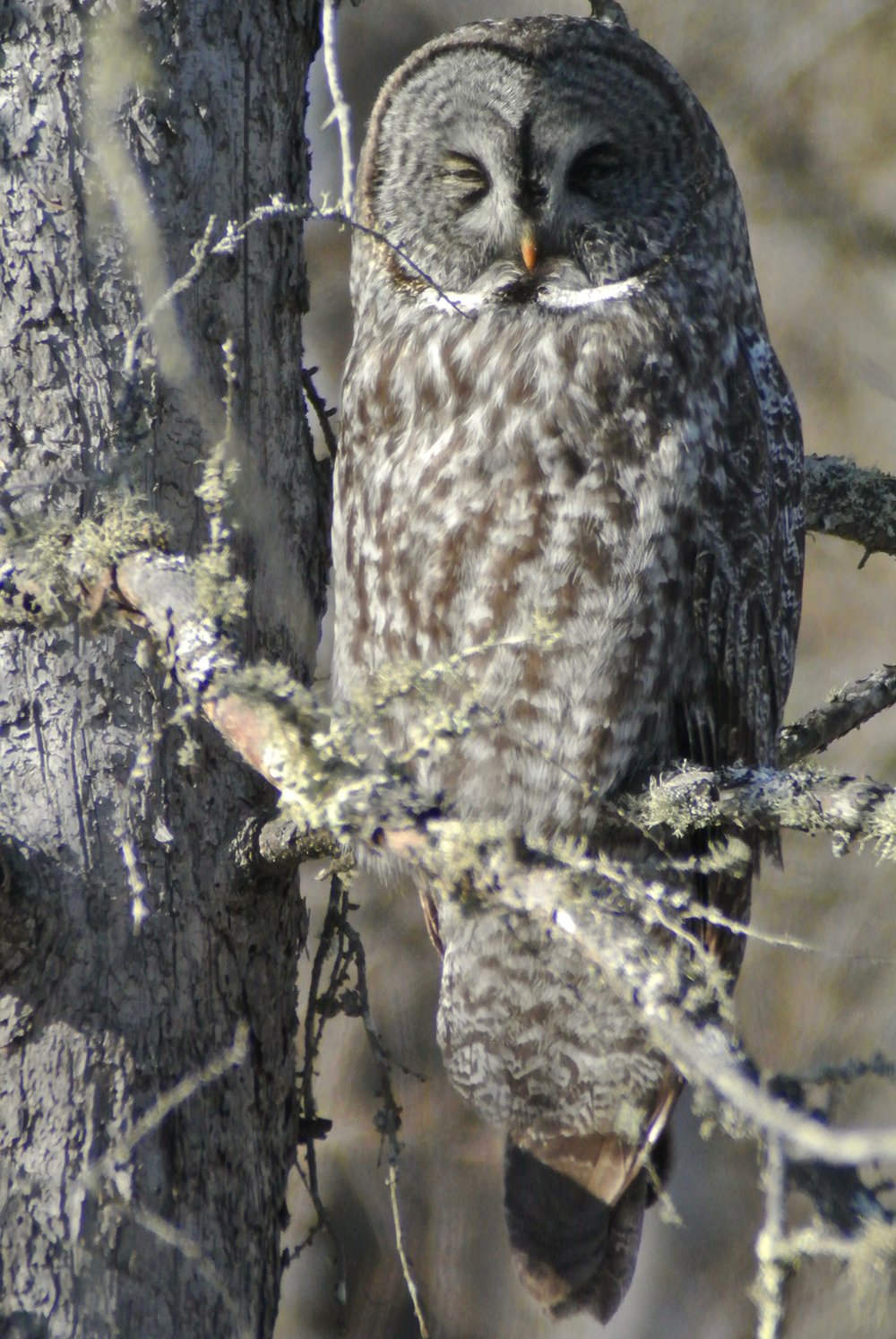 A great new year for birdwatchers chasing northern owls ...