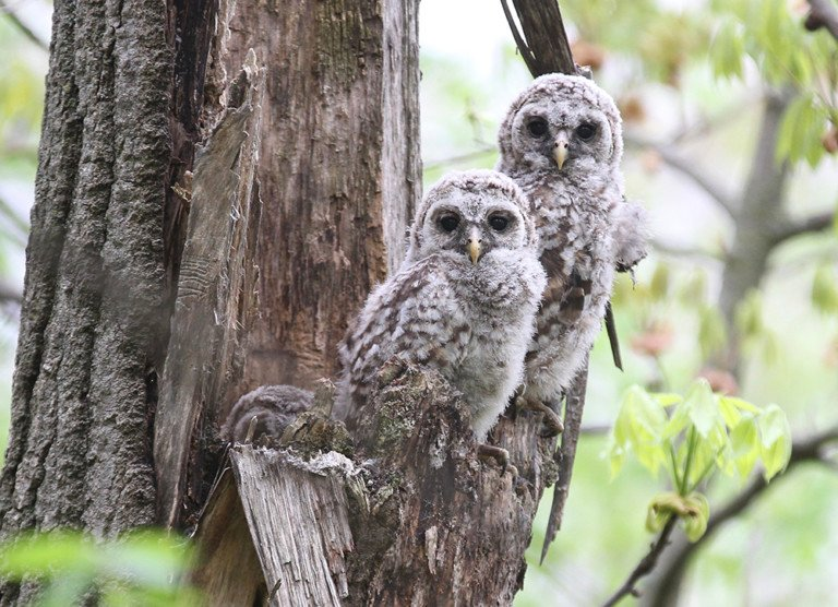 Images, video: Barred owl nest in Minnesota - Outdoornews