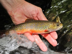 Plan a Pennsylvania native brook trout adventure - Outdoornews