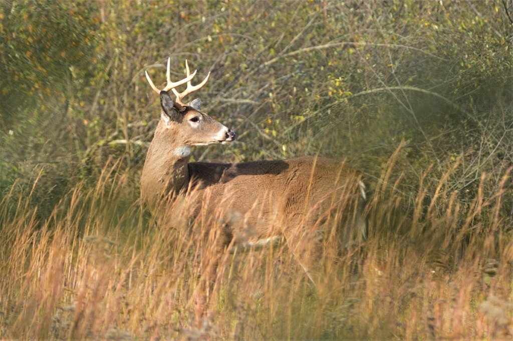 Whitetail Deer - Outdoornews