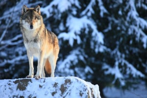 Wolf population declining in Yellowstone National Park
