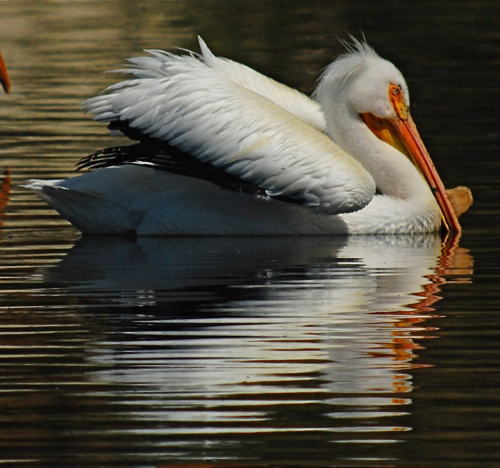 An Obvious Dating Clue Pelican Horns Outdoornews