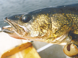 Walleye size limit change on the Manitowish chain to be