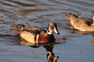 Scouting waterfowl hotspots leading up to season opener - Outdoornews