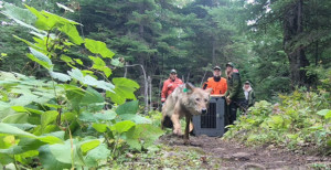 Three wolves moved to Isle Royale, although one dies - Outdoornews