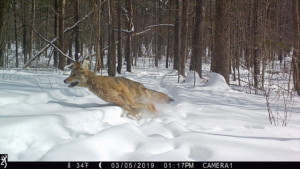Giving coyotes a free pass during deer season - Outdoornews