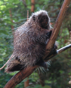 Dogs and porcupines don't mix - Outdoornews
