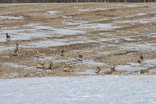 Deer Congregate In A Crawford County Field This Spring Photo By Tim Eisele