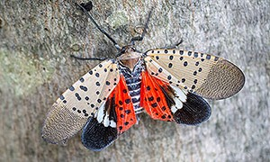 Spotted Lantern Fly, Pa. Dept. Of Ag