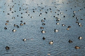 Large Raft Of Diving Ducks Photo By Tim Eisele
