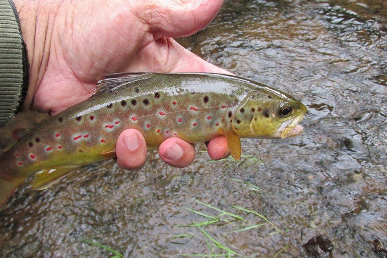 10 Inch Wild Brown Trout 1861 Ps 5 2020 Mf