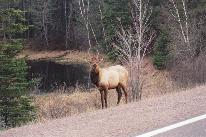 Elk Near Clam Lake Wildlife