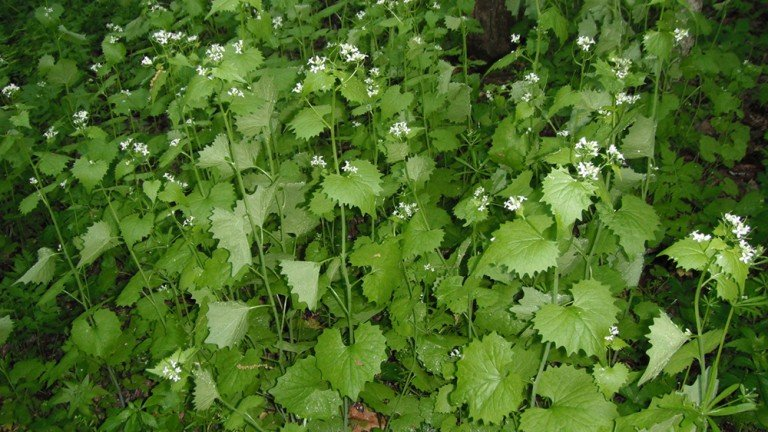 Garlic Mustard Is Invasive And Can Force Out Native Species Photo By Tim Eisele