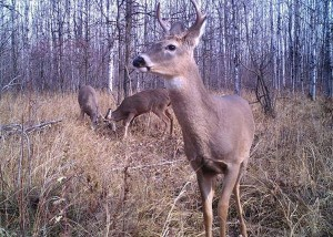 Deer Bucks Mndnr