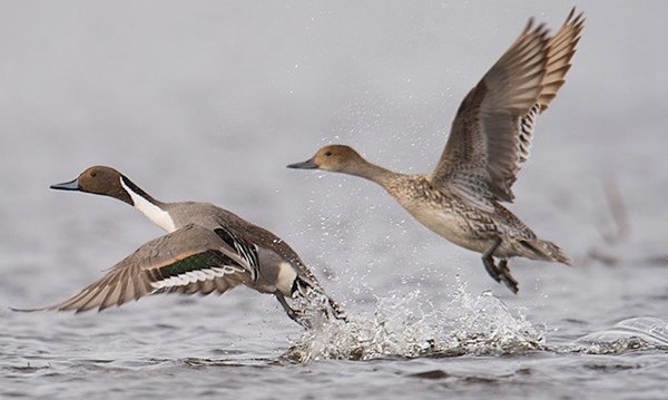Pintails Delta Waterfowl
