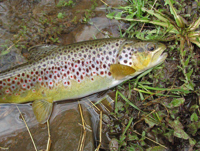 A Foot Plus Long Wild Brown Trout 1788 Ps C