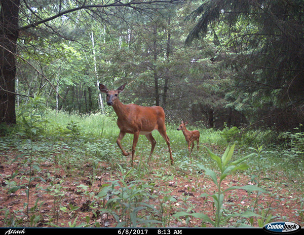 Fawn Following Doe