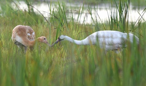 10 5 Whooping Crane