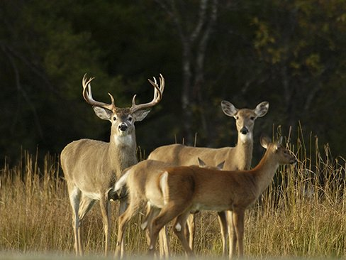 Dsk111 17.jpg | Whitetail Deer
