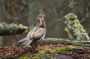 Strutting Ruffed Grouse In Quiet Forest