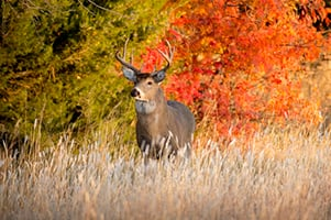 Powerful Male Whitetail Buck During Fall Rutting Season In Kansas