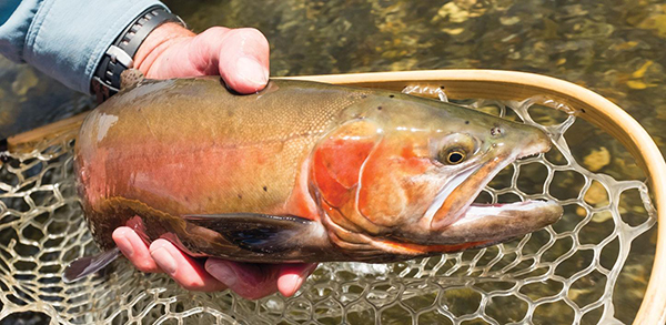 10 12 Cutthroat Trout