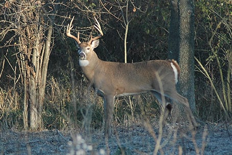 Fall Buck In Woods