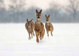 Three Roe Does Running In Snow Towards Cemra